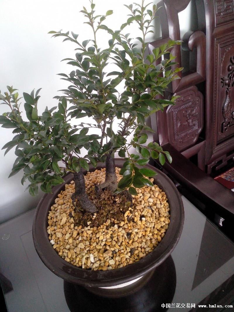 小叶紫檀盆景