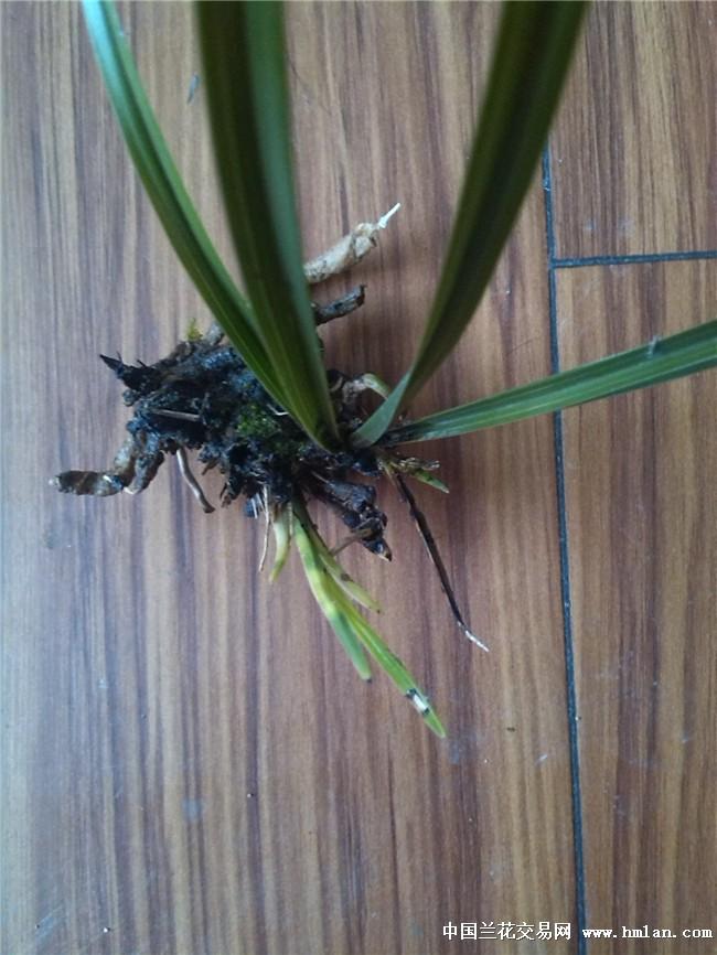 自挖下山蕙兰进化变异斑草 带圆头奇根
