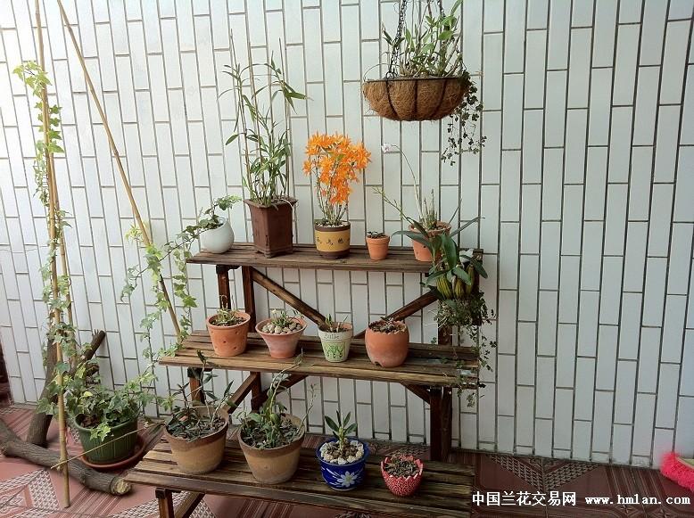 发个阳台养的视频-石斛兰-中国兰花交易网社区石斛牙套装图片