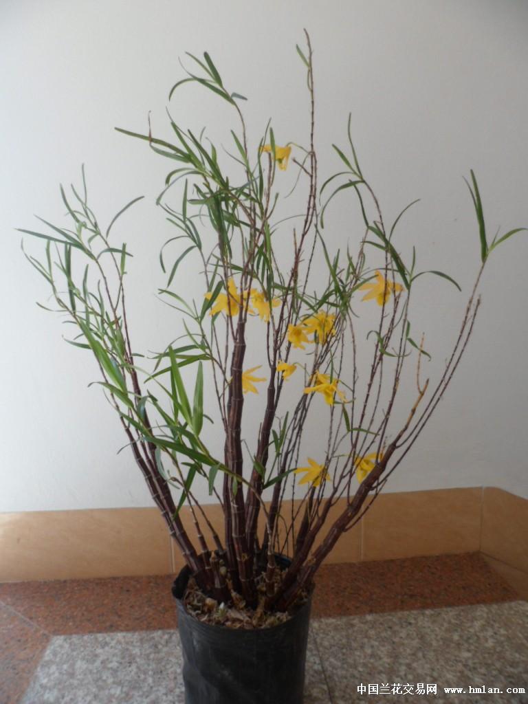 石斛木架盆景图片欣赏