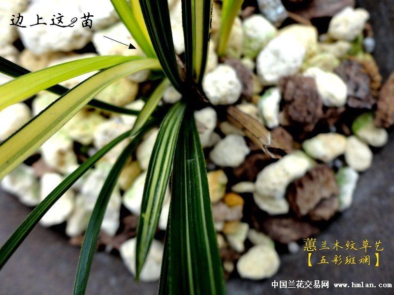 【迎元旦】【蝴蝶园】蕙兰木纹草【五彩斑斓