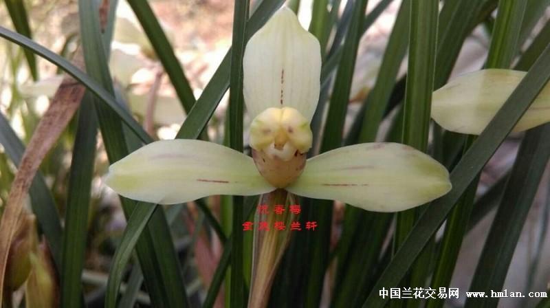 自然窜种春兰香豆瓣玉版水仙 沉香梅 带花0拍中
