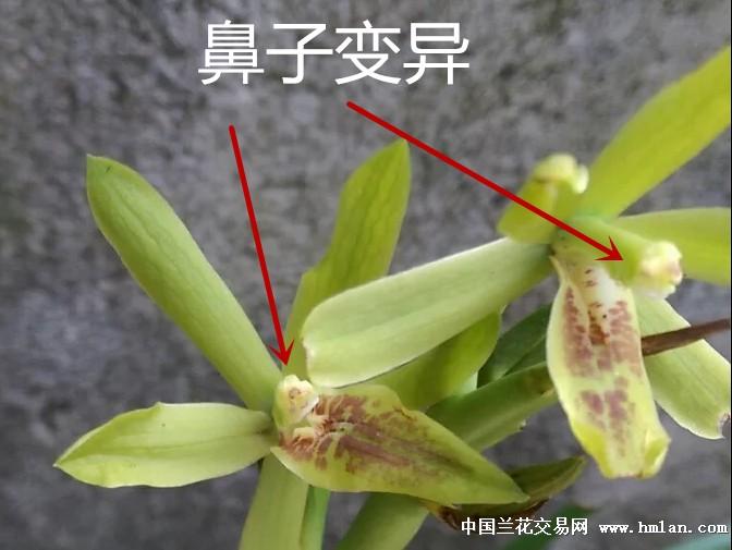 所有分类 下山扇形叶返祖奇花,鼻子变异  母苗状况: 片叶 新苗状况