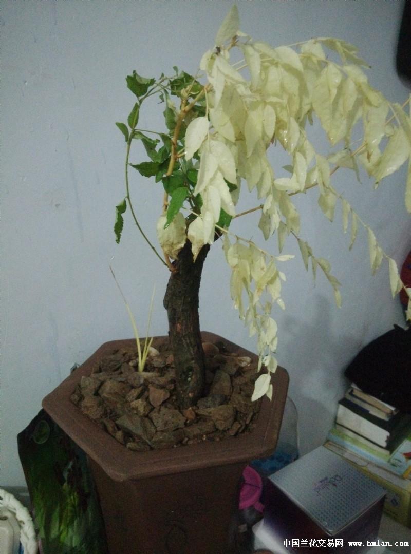 变异野山枣树,奇葩