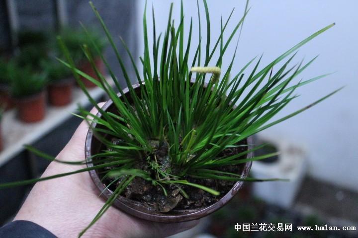 传统虎须菖蒲---------已上拍-盆景园艺-中国兰花