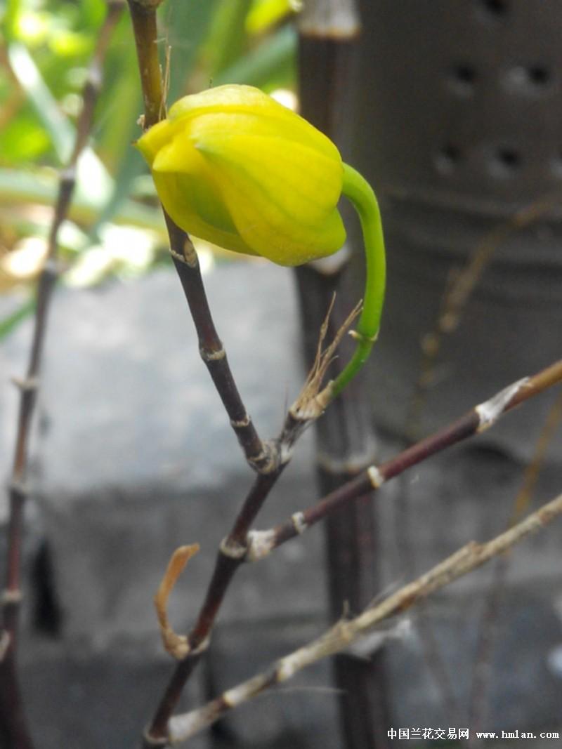 竹叶石斛的花