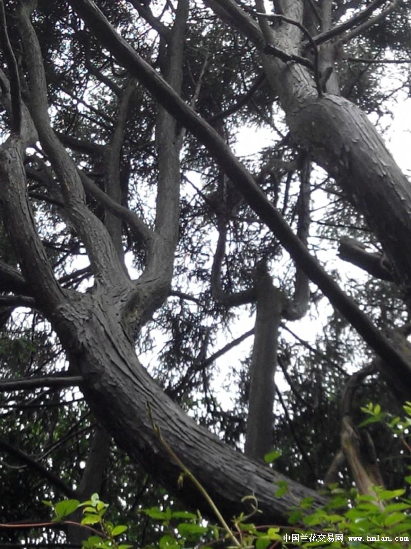 野生崖柏树原图