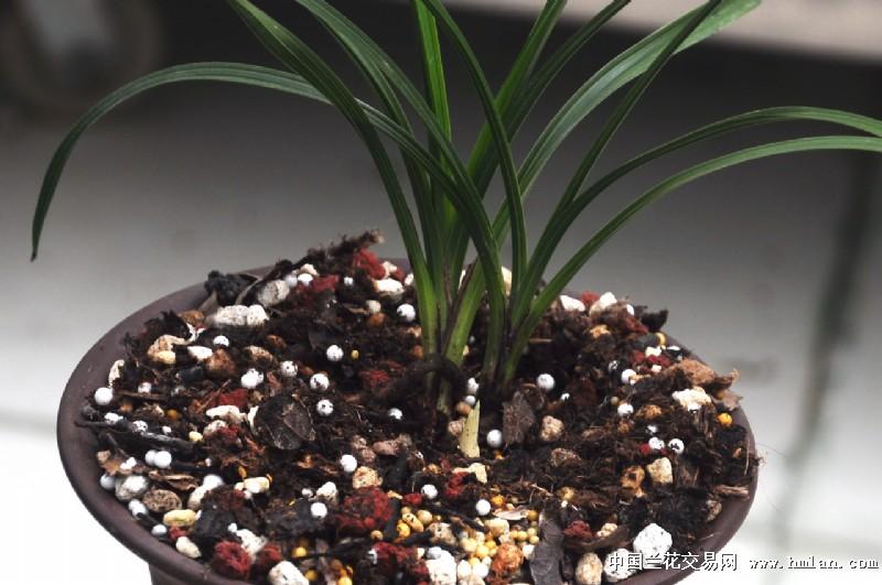 龙爪叶荷型翠绿素(纯前龙带1芽)图片