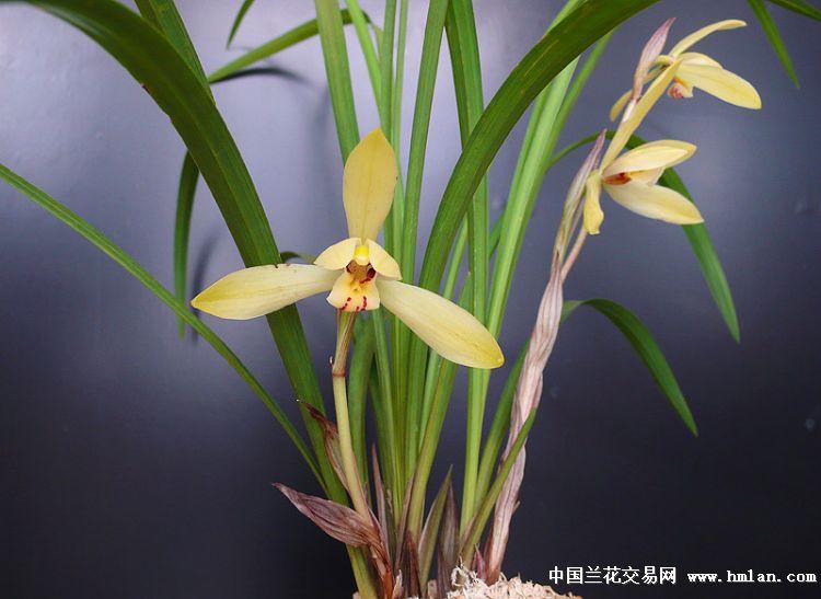 春兰香豆瓣黄花3苗
