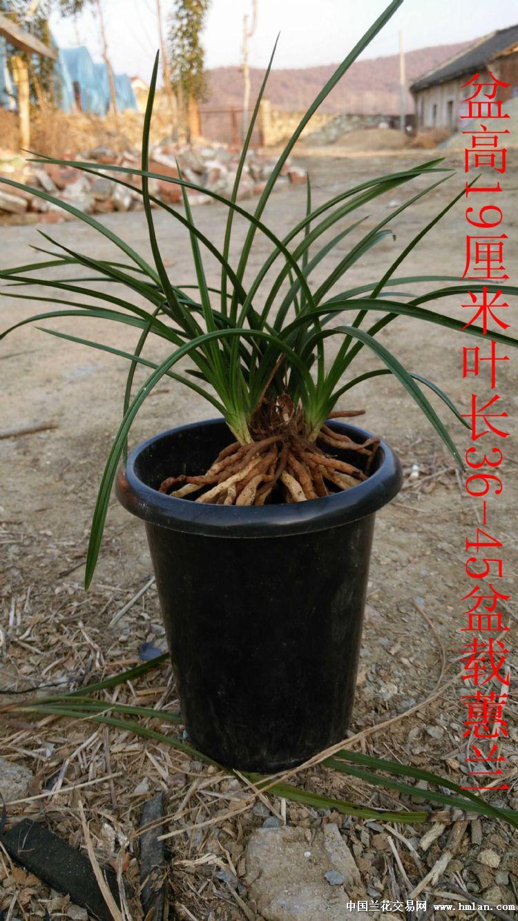 兴隆双木中矮型盆栽盆景蕙兰