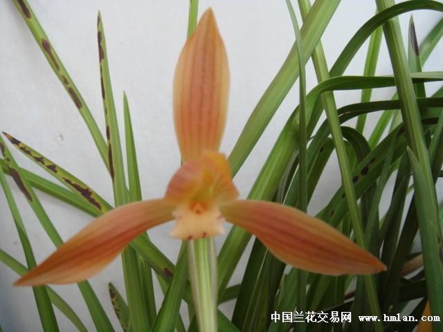 六、香豆瓣黄花素-红河金临安兰苑 春暖花开时节,推介红河兰花