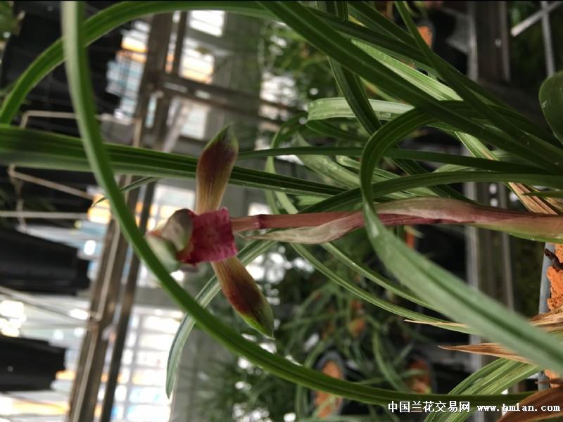 紫圣-显摆一下-春兰篇-中国兰花交易网社区