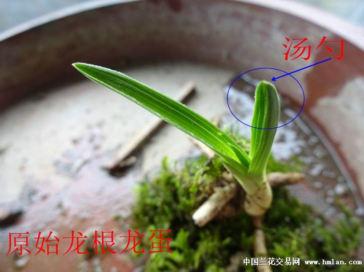 下山原始龙根龙蛋矮圆头草 - 中国兰花交易网