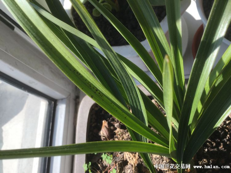 兰花的叶子很宽,根下有过球形,望给予答案,谢谢!图片