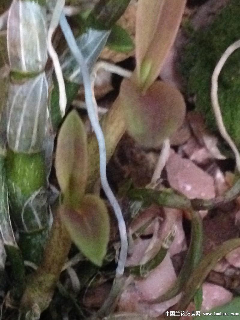 新手种的铁皮石斛和霍山米斛图片